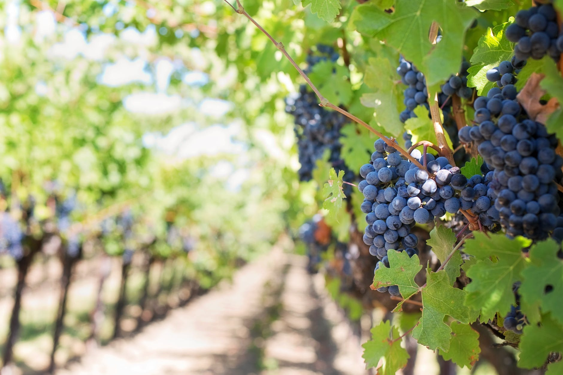 purple-grapes-vineyard-napa-valley-napa-vineyard-39351