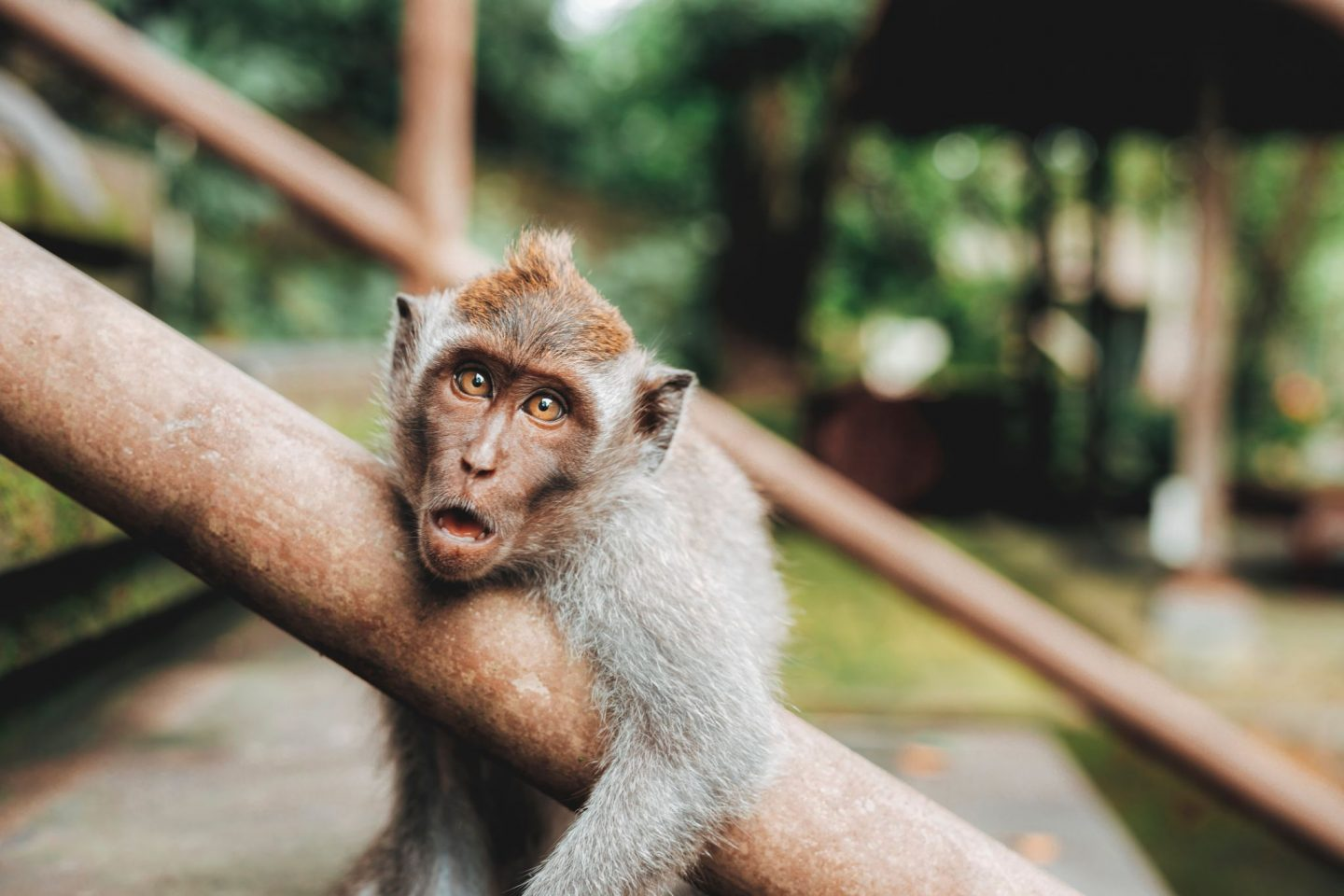 Bali, Indonesia, monkey, travel, traveling, wanderlust, tips, culture