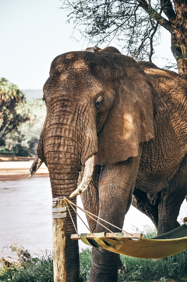 a photograph of an elephant up close to the photographer in his natural habitat