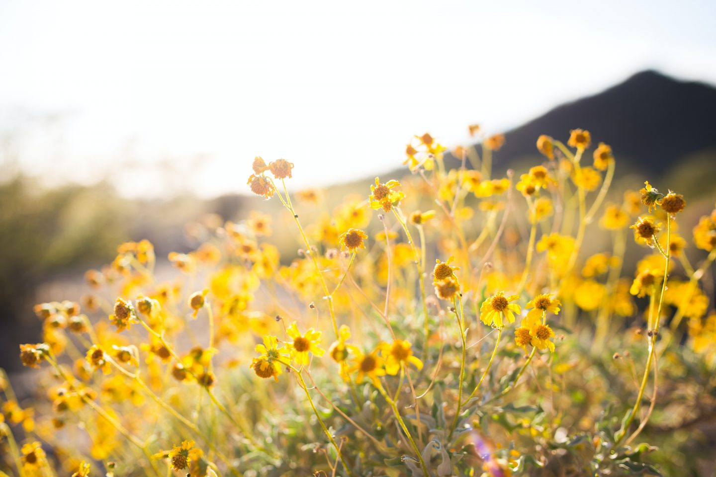 yellow flowers in a field, nature shot, landscape photography