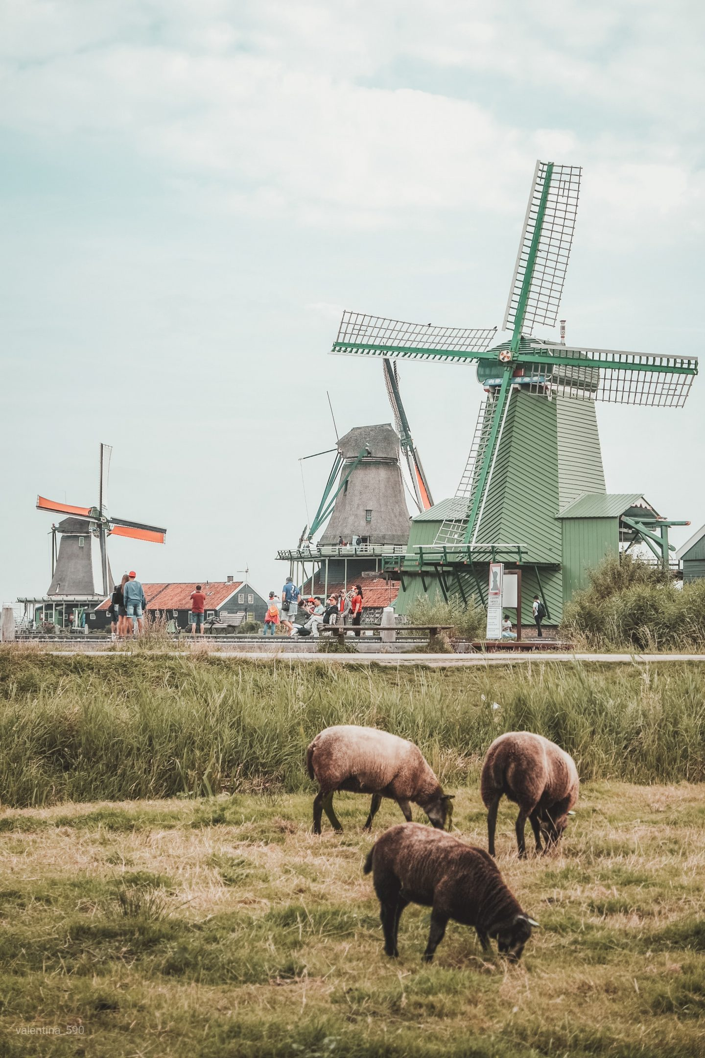 windmills in the netherlands and sheep, dutch culture facts and misconceptions