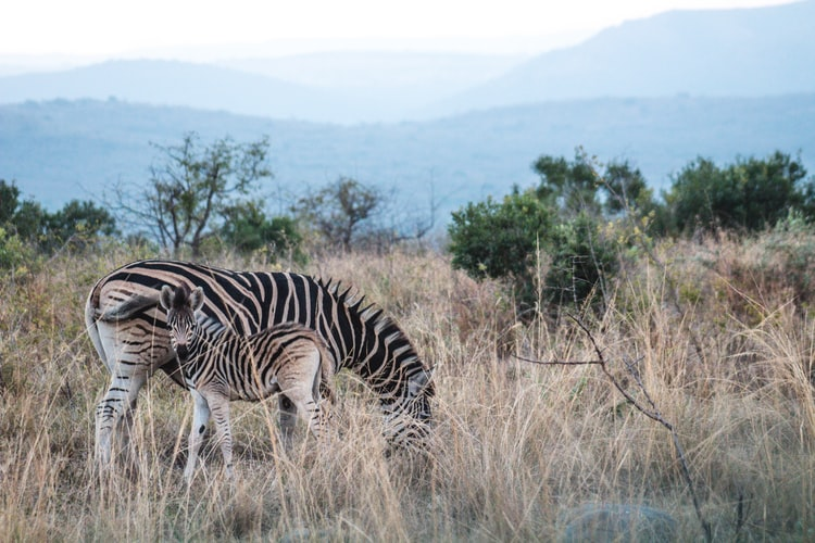 wildlife, zebra eating grass, baby zebra
