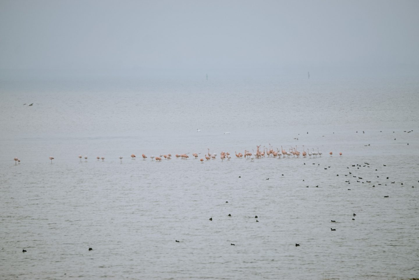 a group of wild flamingo's in the netherlands