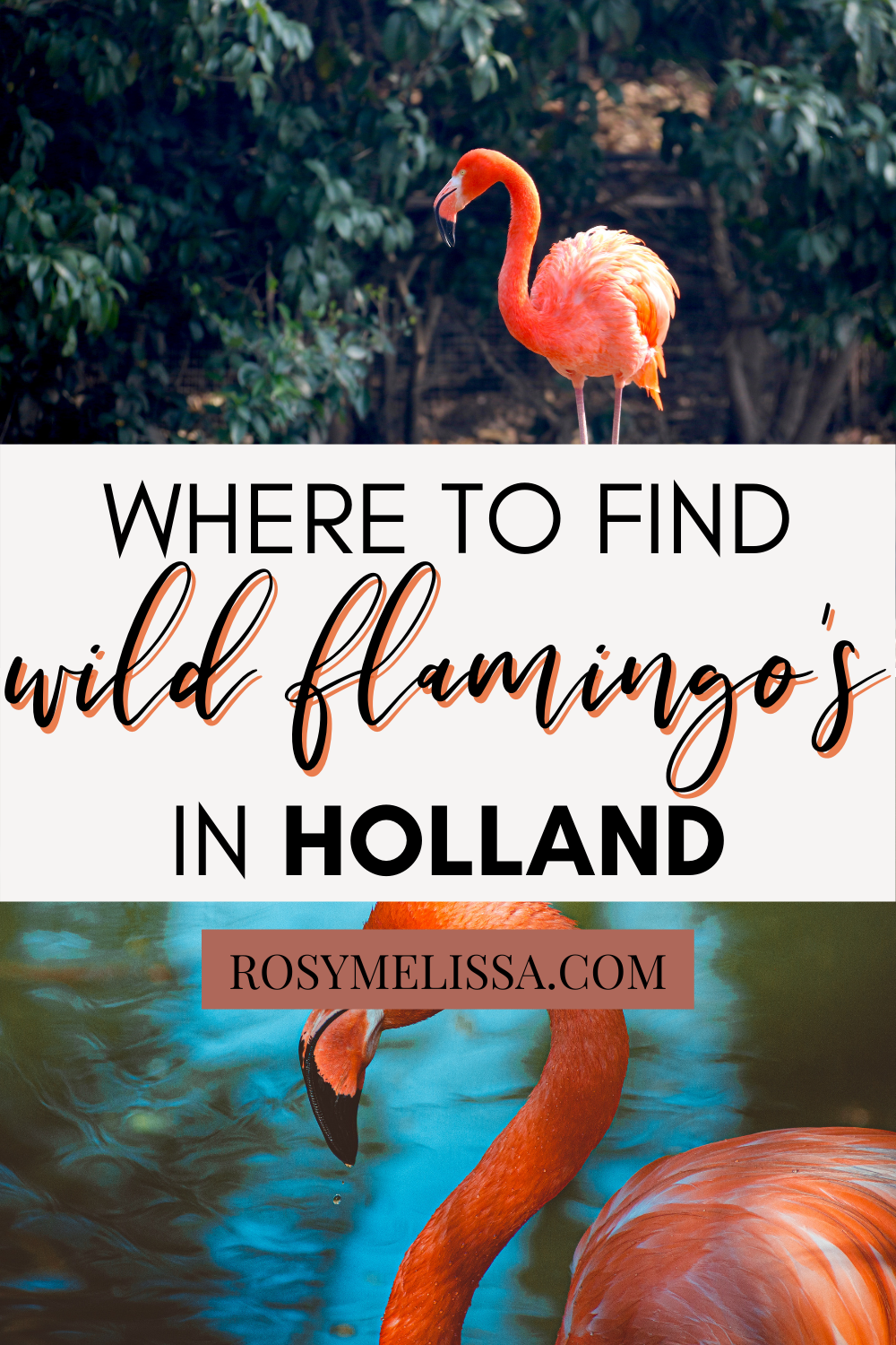 where to find wild flamingo's in the netherlands, flamingos in holland, wild flamingo's