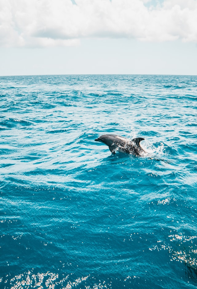 a dolphin jumping out of the ocean, bright blue ocean, dolphin watching