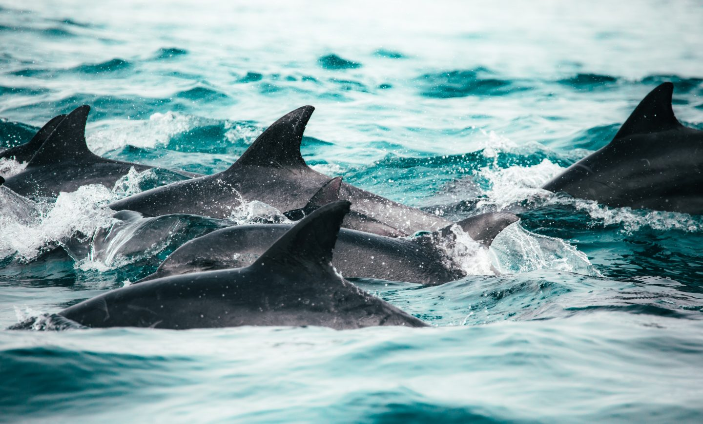 three dolphins in a group in the ocean, wild dolphins in the ocean