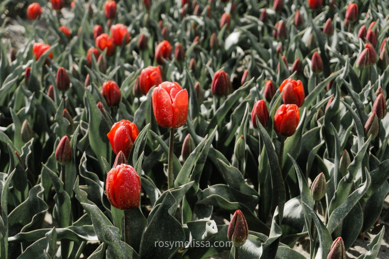 red tulips in flower field in the netherlands, tulip season in holland