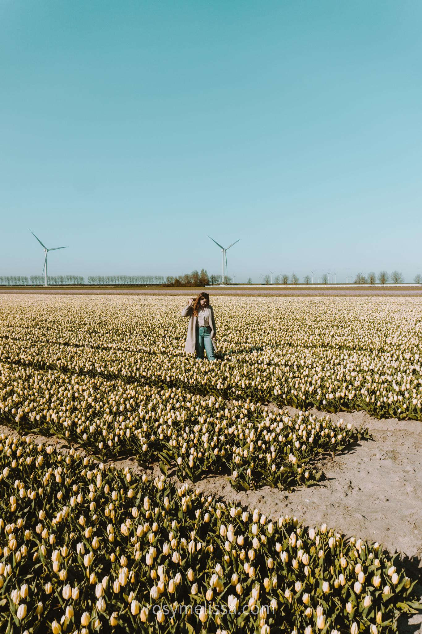 flower field, tulip field in the netherlands, yellow tulips