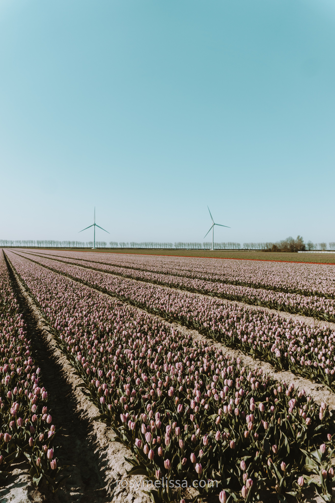 a view on a yellow tulip field in the netherlands