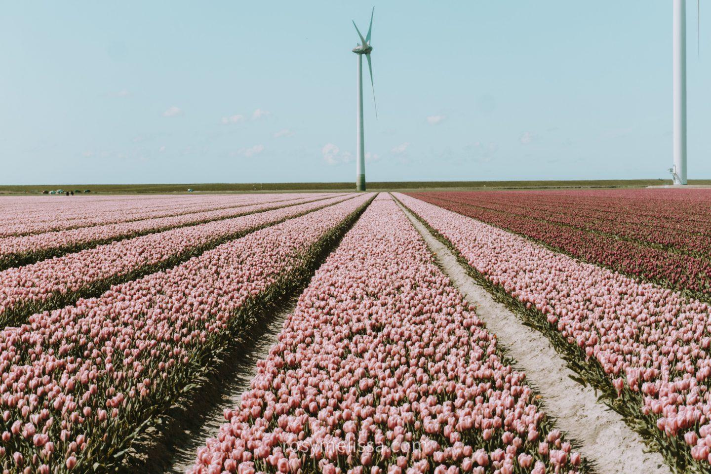 tulip fields in the netherlands, tulip season, pink fields, red tulips